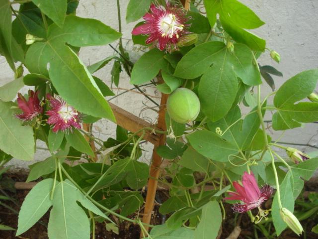 Pasiflora in Morocco Lady_m12