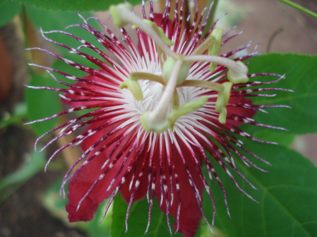 Pasiflora in Morocco P_amet10