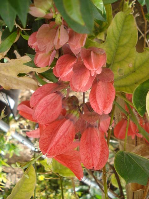 Pasiflora in Morocco P_race10
