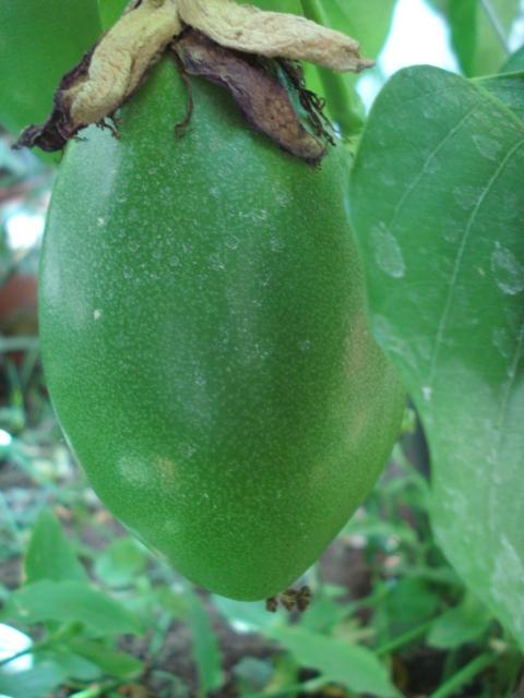 Passiflora Liguraris Anyone Phoeni11