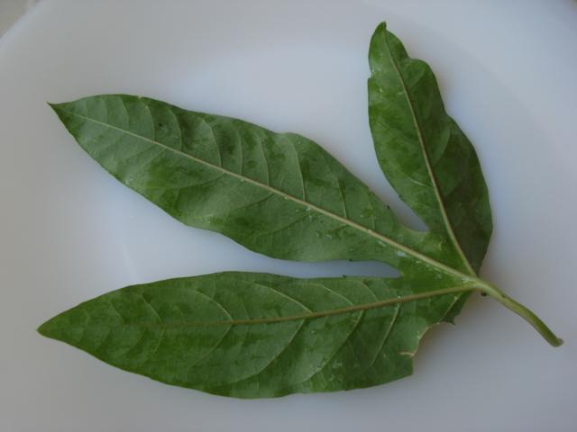 Identification : caeruléa x edulis ? Photo_13
