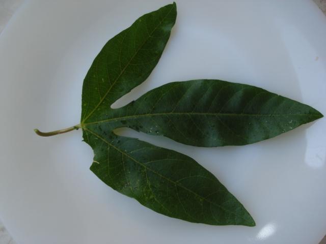 Identification : caeruléa x edulis ? Photo_15