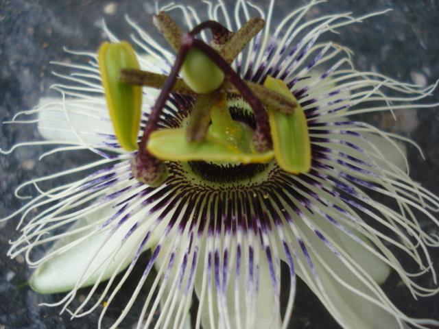 Identification : caeruléa x edulis ? Photo_18