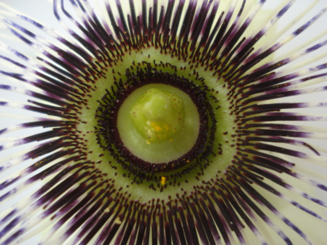 Identification : caeruléa x edulis ? Photo_19