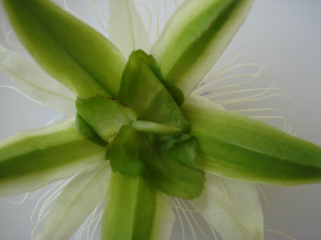 Identification : caeruléa x edulis ? Photo_20
