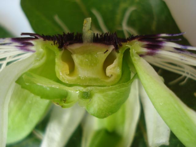 Identification : caeruléa x edulis ? Photo_22