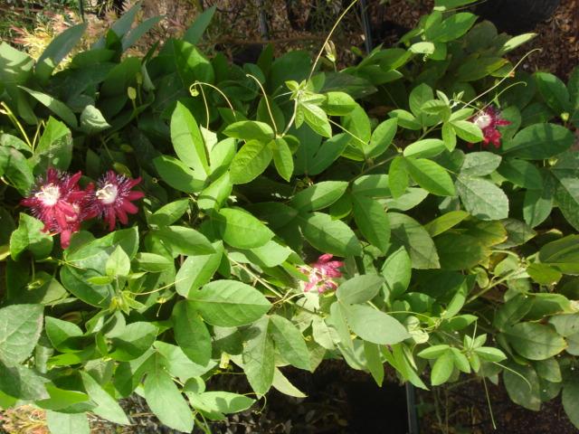 Pasiflora in Morocco Pura_v12