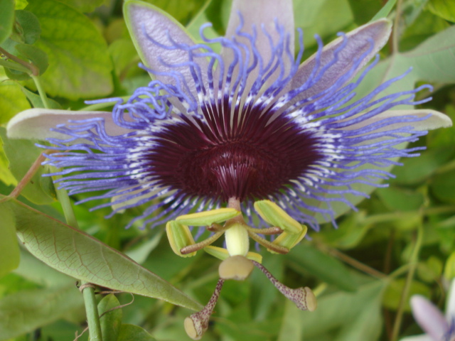 Pasiflora in Morocco Purple10