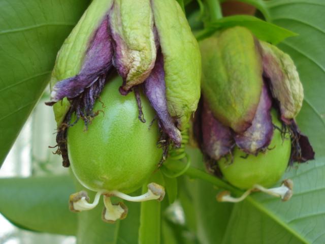Identification of P.  caerulea and edulis Quadra12