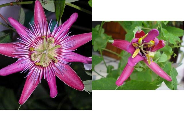 identification of passiflora Tropic12