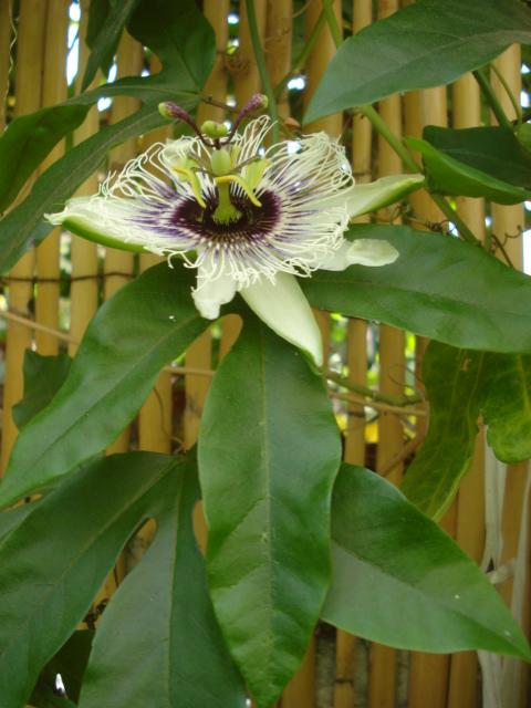 Pasiflora in Morocco Xxxx_e10