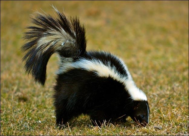 Bonne Dimanche Skunk-10