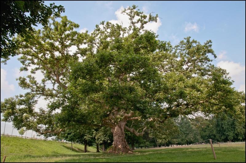 questioni di alberi secolari Dsc_2010