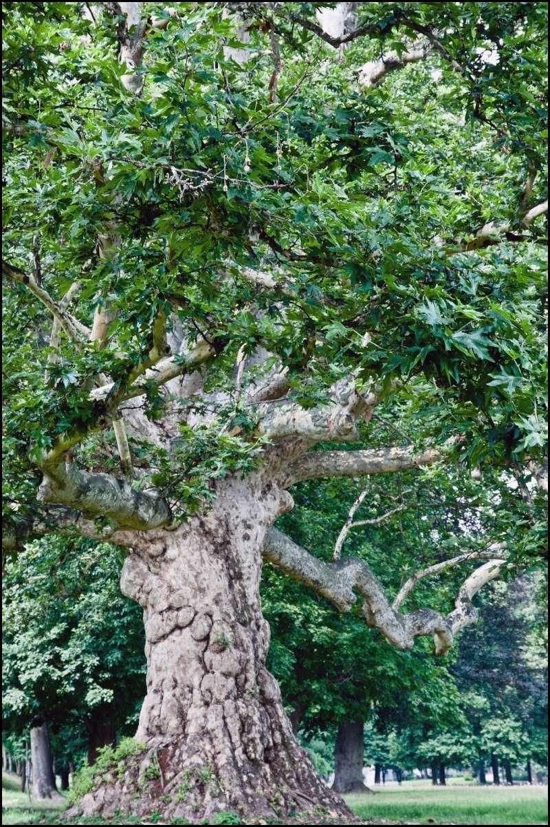 questioni di alberi secolari Dsc_2011
