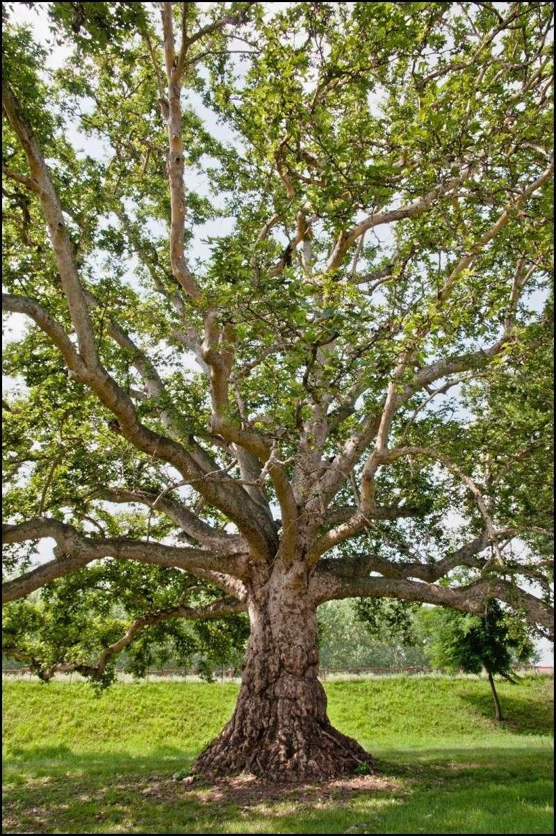 questioni di alberi secolari Dsc_2012