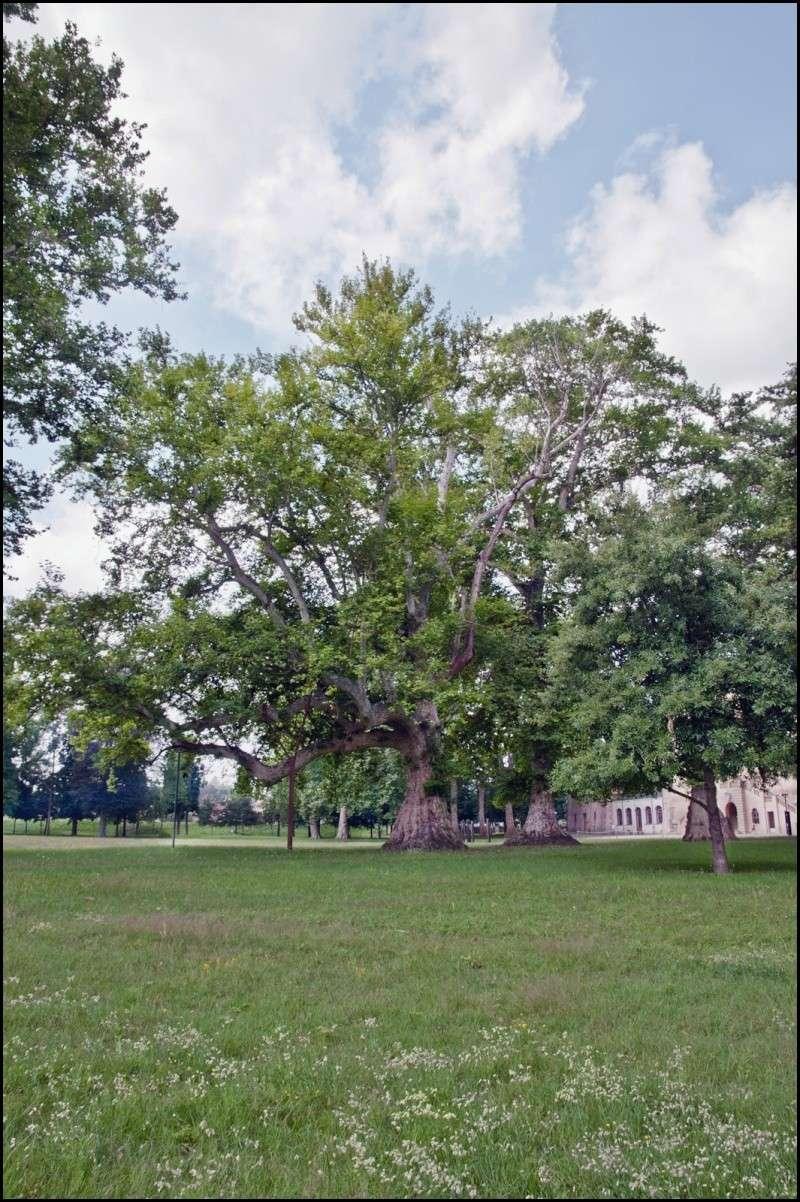 questioni di alberi secolari Dsc_2013
