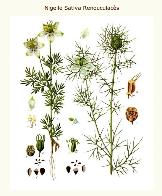 Nigelle de Damas / Nigella damascena Screen18