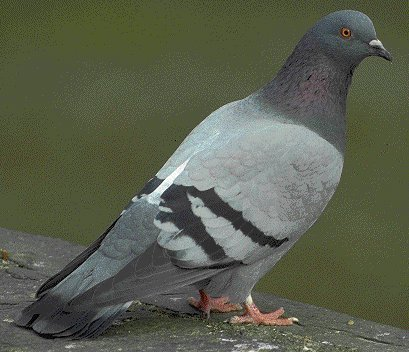 Les animaux - Page 4 Pigeon10
