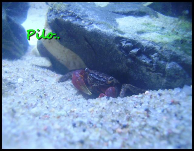 Bac pour Crabe Sesarma Mederi  - Page 2 Crabe10