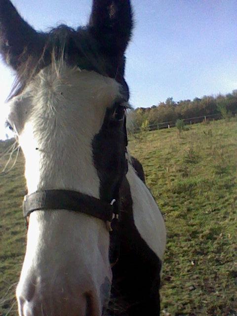 les frisons de patricia elevage de chevaux frisons et irish-cobs Caraib17