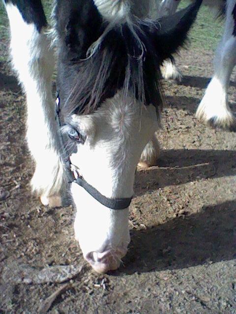 les frisons de patricia elevage de chevaux frisons et irish-cobs Caraib18