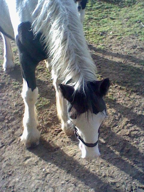 les frisons de patricia elevage de chevaux frisons et irish-cobs Caraib19