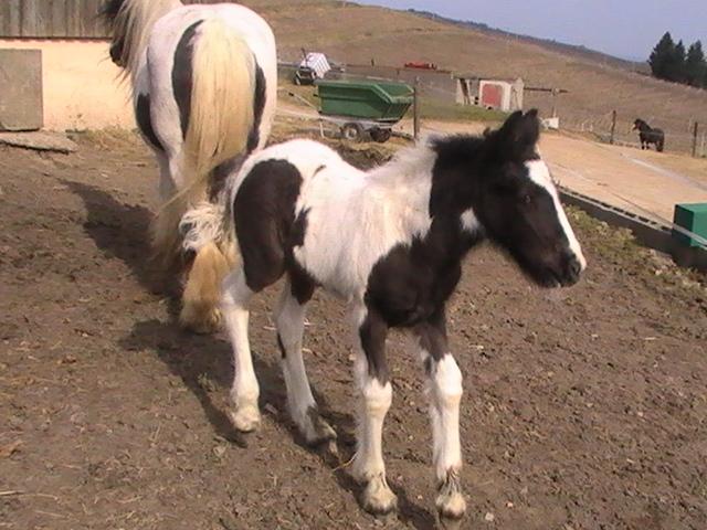 les frisons de patricia elevage de chevaux frisons et irish-cobs Pic_3614