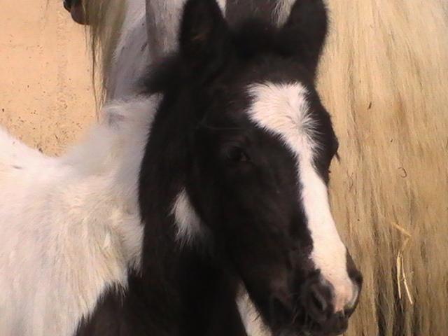 les frisons de patricia elevage de chevaux frisons et irish-cobs Pic_3617