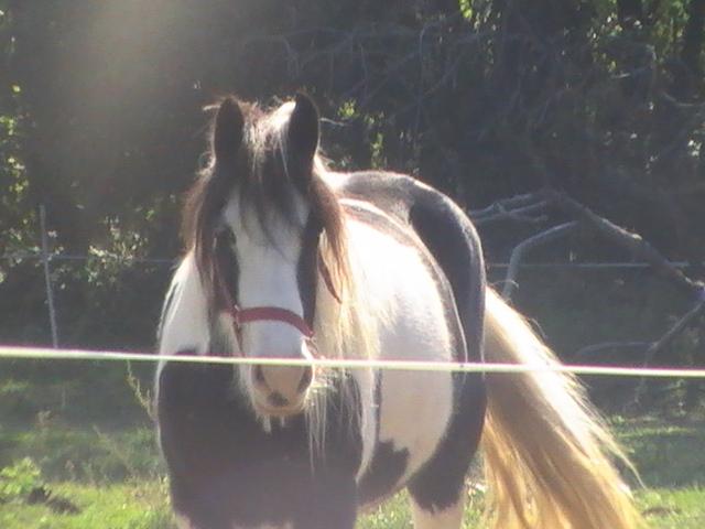 les frisons de patricia elevage de chevaux frisons et irish-cobs Pic_5112
