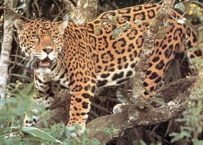 Images Grande Jungle Jaguar10