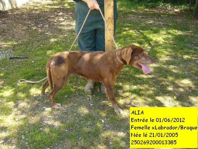 ALIA xLabrador/Braque 250269200013385 Alia8b10