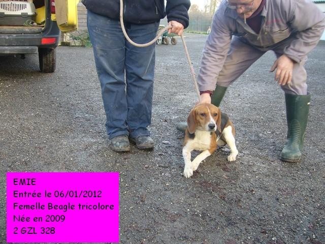 EMIE Beagle tricolore  2GZL328 Emie2_10