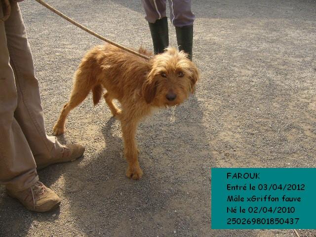 FAROUK xGriffon fauve 250269801850437 Farouk10