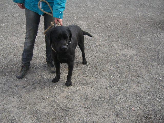 FILOU Labrador noir 2GUA278 en CA Filou312