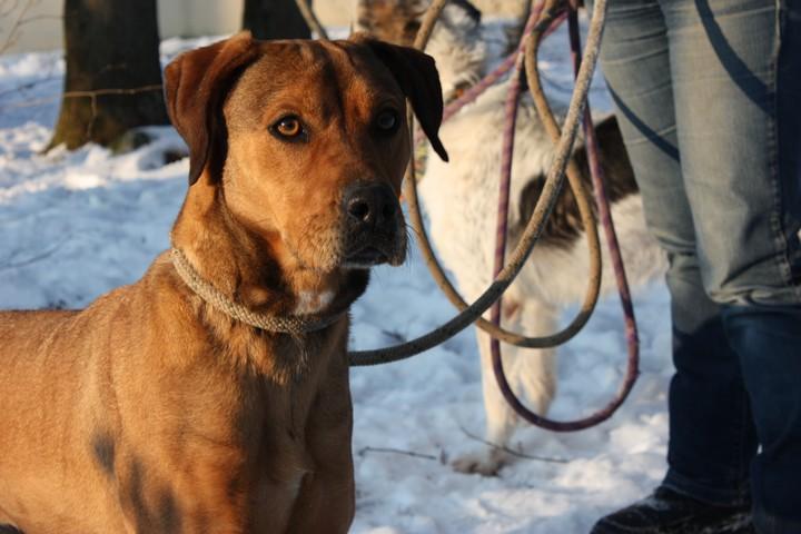 DAMIA Croisée Labrador fauve 2GTE723 Img_6223