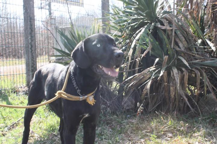 ATHOS Croisé Labrador et Husky (Dogue ?) 250269602822197 Img_6625