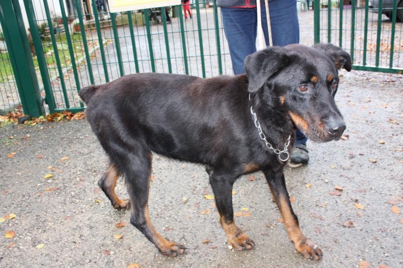 MAMA Croisée Rottweiler/Beauceron 2GPZ233 Mama10