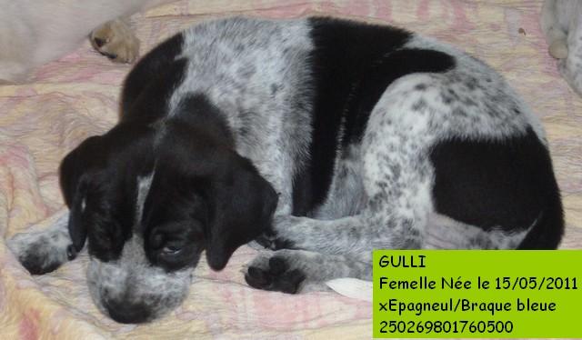GULLI X Epagneul/Braque en CA P1080811
