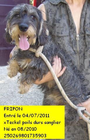 FRIPON  xTeckel poils durs sanglier 250269801735903 P1090111