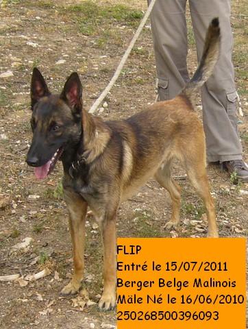 FLIP Berger Belge Malinois 250268500396093 en CA le 1er Février P1090316