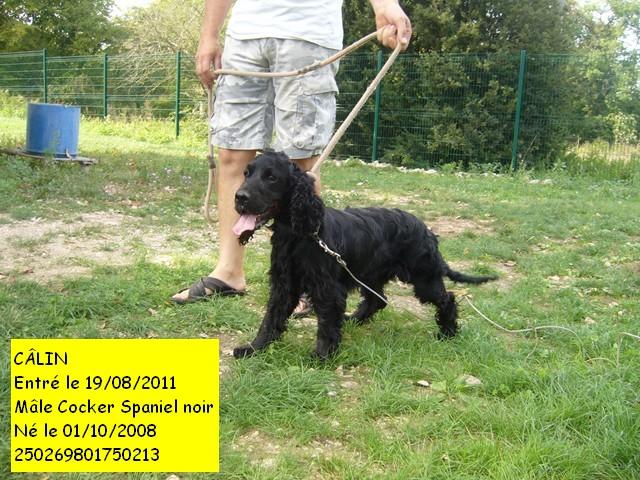 CÂlin Cocker Spaniel noir 250269602750213 P1090713