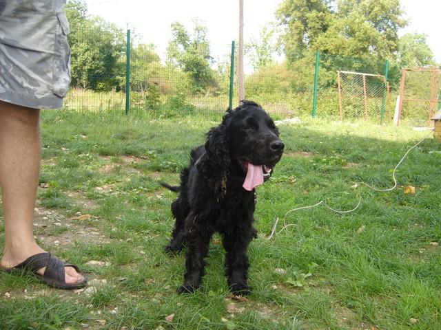 CÂlin Cocker Spaniel noir 250269602750213 P1090714