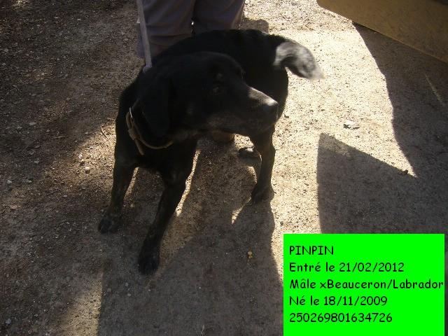 PINPIN xBeauceron/Labrador 250269801634726 P1110917