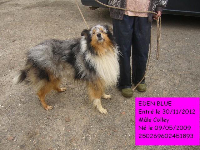 EDEN BLUE Colley bleu merle 250269602451893 P1140630