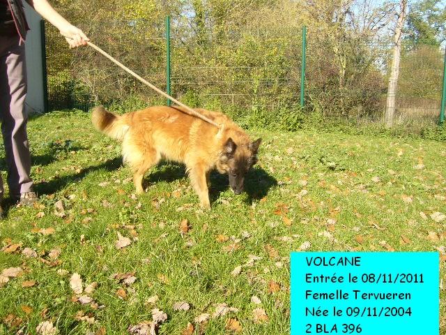 VOLCANE Berger Belge Tervueren 2BLA396 Photo109