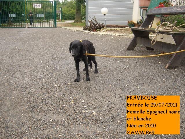 FRAMBOISE Epagneul noire et blanche 2GWW869 Photo_19