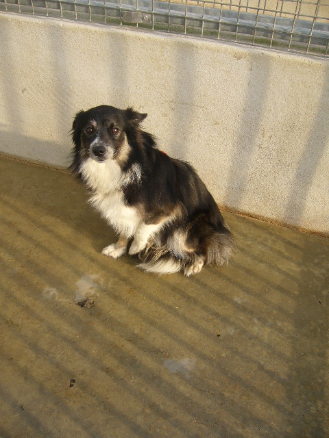 STANY xBorder Collie 250269604192744 en CA Stany210