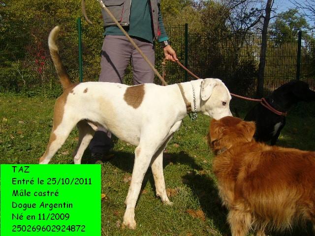TAZ Dogue Argentin 250269602924872 Taz4_c10