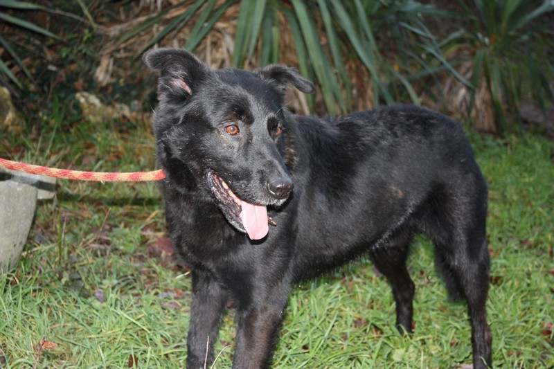 THUNDER Croisé Retriever Labrador noir 250269600456900 Thunde11