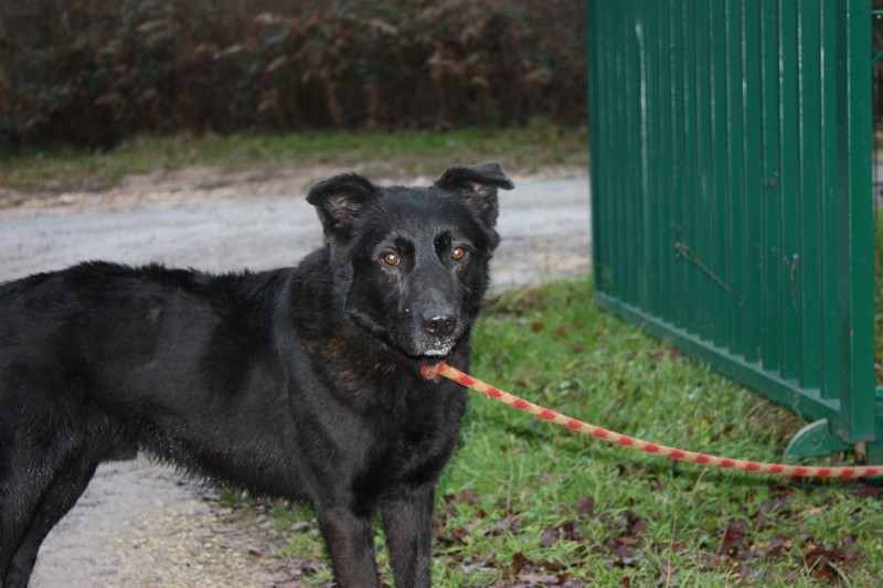 THUNDER Croisé Retriever Labrador noir 250269600456900 Thunde12